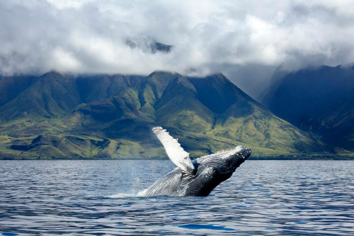 9-humpback-whale-maui-hawaii.ngsversion.1491576076091.adapt.1190.1